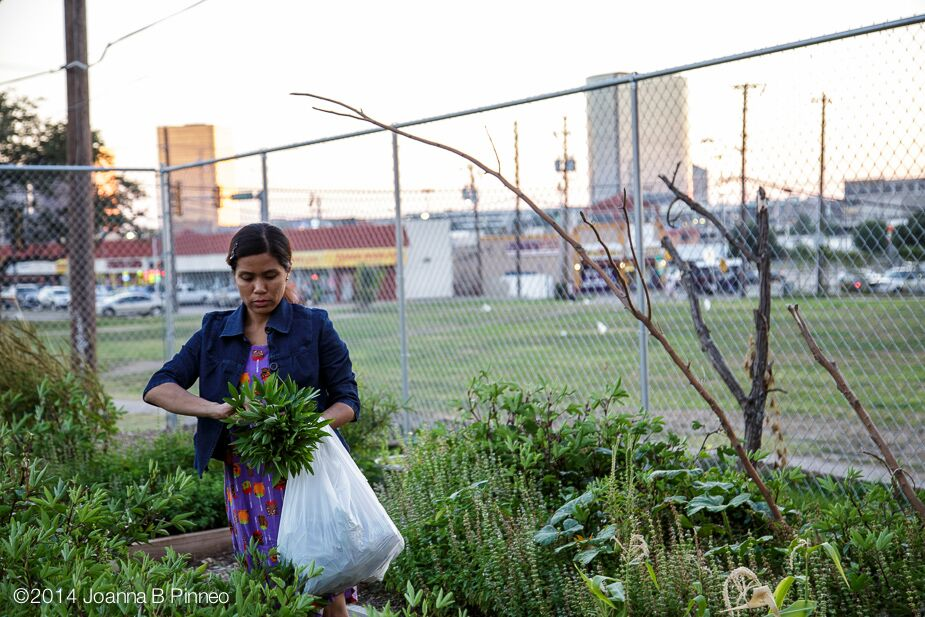 Gardener in Dallas, Texas harvests her vegetables