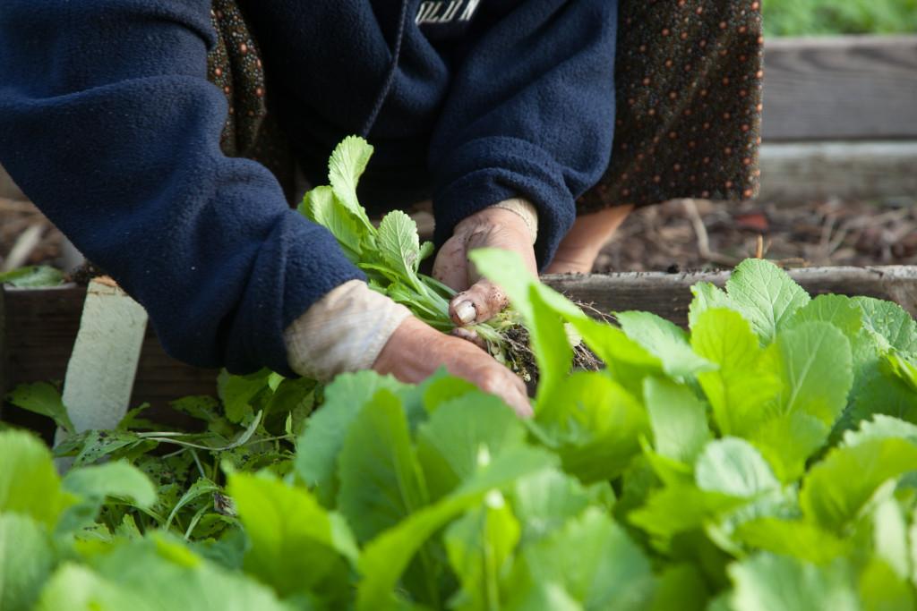 Community gardeners tend vegetables in Dallas
