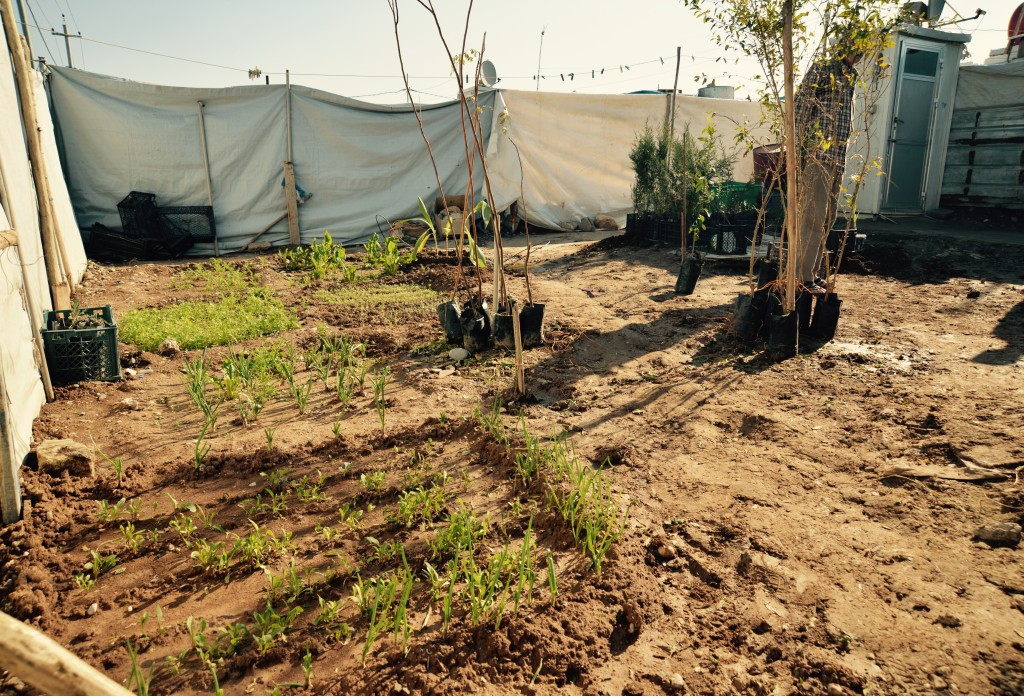 Syrian garden sprouts at Domiz camp, Iraq